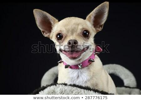 Stock photo: funny face chihuahua portrait in dark studio