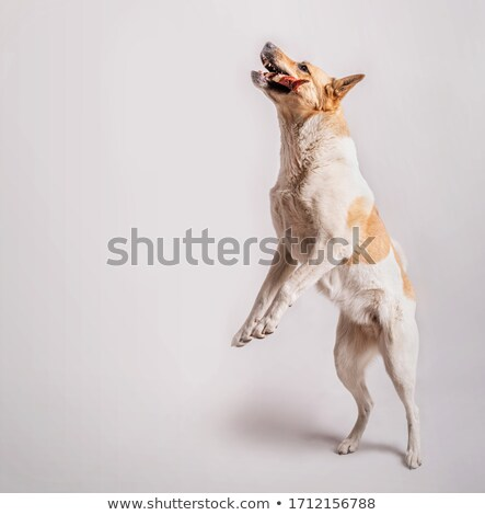 Mixed breed dog eating a bone in a white photo studio Stock photo © vauvau