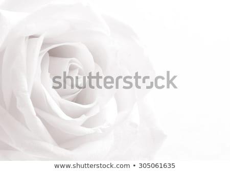 бежевый закрывается белый изолированный лист искусства Сток-фото © maia3000