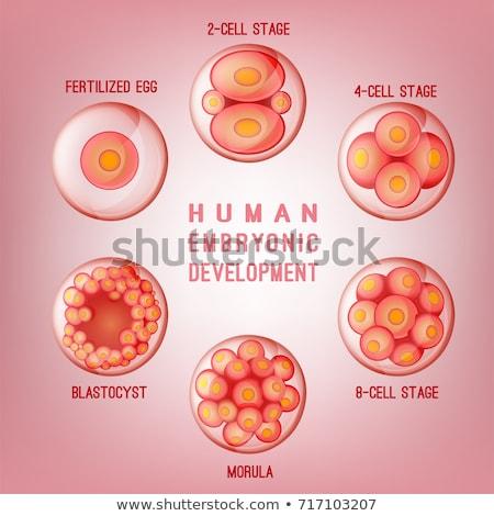 Vektor emberi embrió fejlesztés illusztráció nő Stock fotó © bluering