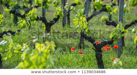 Young branch and poppies with sunlights in Bordeaux vineyards Stock photo © FreeProd