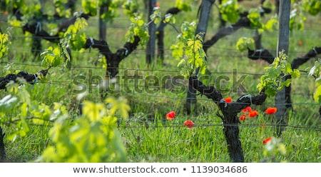 Fiatal ág pipacsok Bordeau égbolt bor Stock fotó © FreeProd