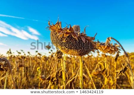 Old Sunflower Stock photo © 5xinc
