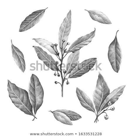 Fresh bay laurel (Laurus) leaf, paths Stock photo © maxsol7