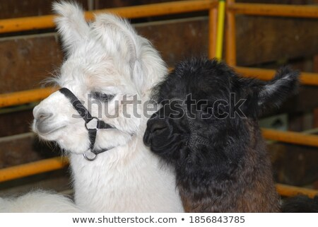 Llama theme image 2 Stock photo © clairev