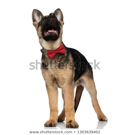 surprised wolf dog wearing red bowtie looking up stock photo © feedough