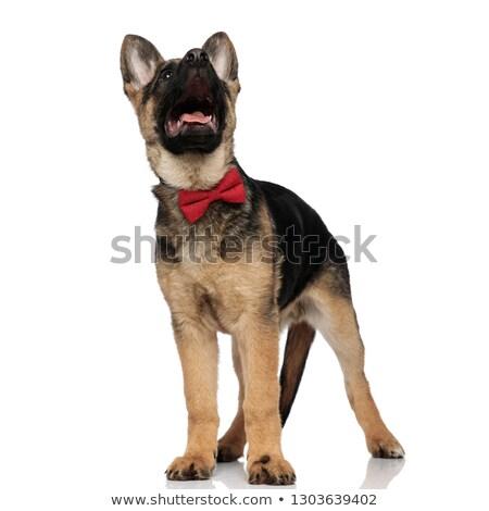 Verwonderd wolf hond Rood Stockfoto © feedough