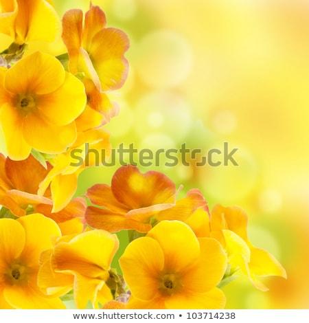 flor · amarela · prímula · macro · isolado · branco · casa - foto stock © artush