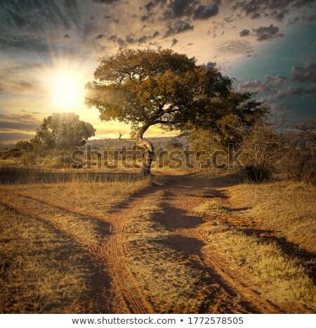 Savanna scene with road and sunset stock photo © colematt