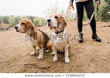Two purebred beagles sitting on sand while chilling with their owner by lake Stock photo © pressmaster