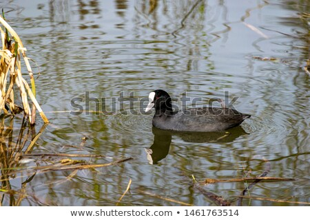 Eurasian coot duck in a pond Stock photo © manfredxy