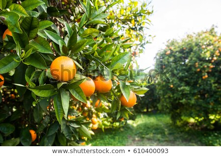 Mandarin tree with ripe fruits. Mandarin orange tree. Tangerine. Branch with fresh ripe tangerines a Stock photo © galitskaya