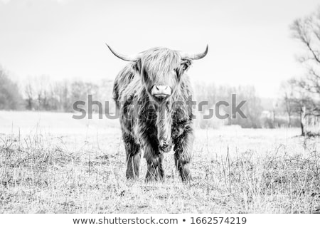 herd of beautiful highland cows stock photo © elenarts