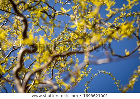 ива цветок синий растений украшение Сток-фото © rbiedermann