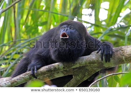 猿 · シルエット · ツリー · ラ · コスタリカ - ストックフォト © emiddelkoop
