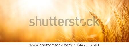 麦畑 · クローズアップ · ショット · 小麦 · 耳 · 夏 - ストックフォト © Gertje
