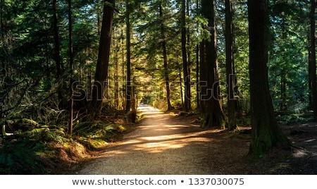 çam · yol · orman - stok fotoğraf © gardensymphony