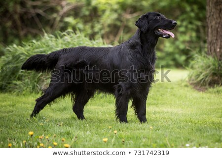 flat coated retriever dog Stock photo © eriklam