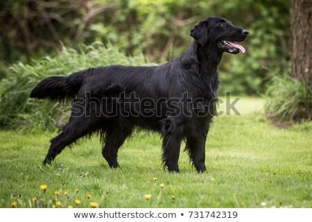 grande · cão · retrato · estúdio · beleza · engraçado - foto stock © eriklam