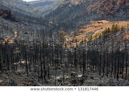 Black ashes of canary pine after forest fire at Teide Stock photo © lunamarina