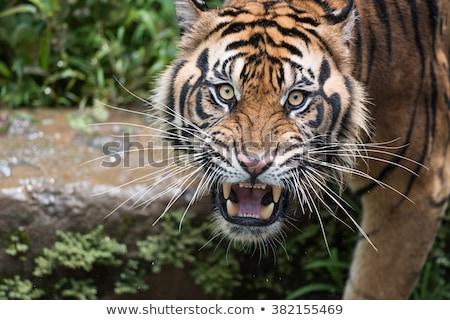 noir · blanche · belle · tigre · isolé · yeux - photo stock © elenarts
