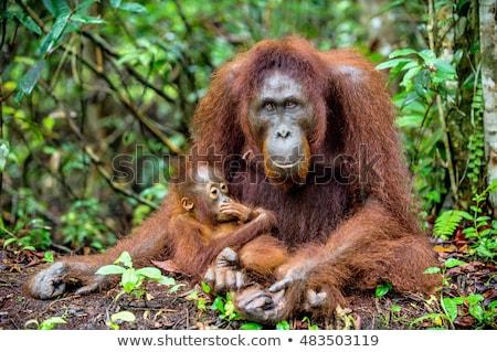 orangutan · anne · bebek · oturma · uzun · çim - stok fotoğraf © smithore