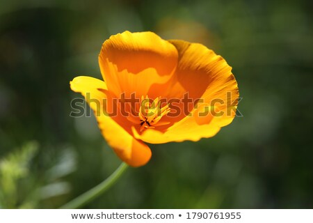 Stock photo: single poppy in sunlight