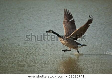 カナダ ガチョウ 離陸 オフ 川 ストックフォト © ca2hill