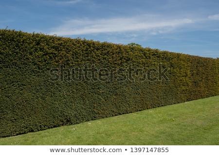 taxus baccata (yew) hedge Stock photo © Snapshot