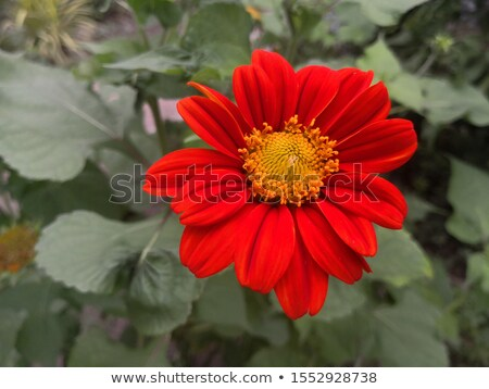 yellow and red sunflower Stock photo © mady70