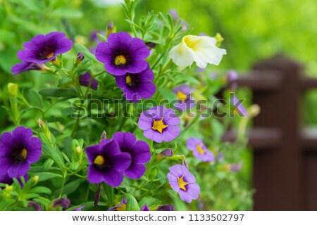 Fioletowy wiszący kwiat kwiaty kolor roślin Zdjęcia stock © tainasohlman