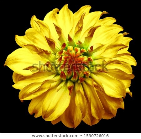Oranje witte dahlia bloem bloeien Stockfoto © stocker