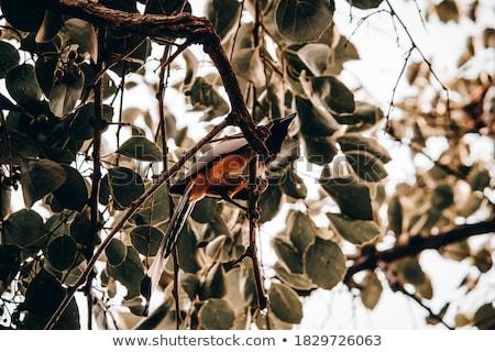Stock photo: Indian Treepie