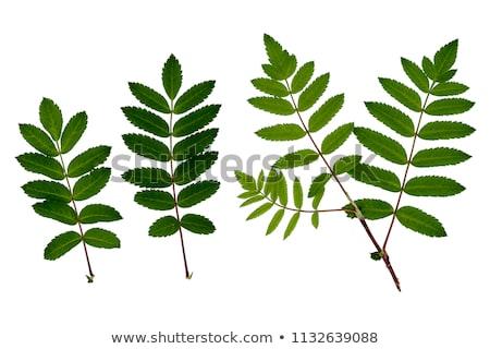 Stock photo:  branch of mountain ash