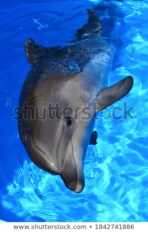 curious dolphin  in blue water Stock photo © neirfy