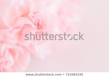 Pálido rosa cravo macro abstrato florescer Foto stock © sarahdoow