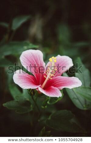 tropicales · rojo · brillante · flor · hibisco · sol - foto stock © shihina