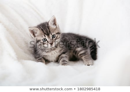 Mooie grijs kitten groene omhoog Stockfoto © Nneirda