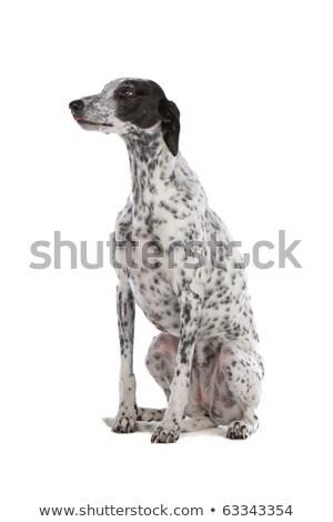 белый борзая собака черный Места изолированный Сток-фото © eriklam