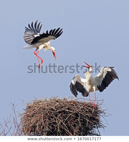 white stork stock photo © mady70