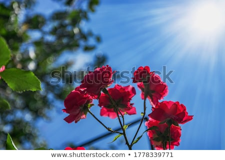 Beautiful pink Hollyhock flowers blooming in the garden against blue sky Stock photo © Julietphotography