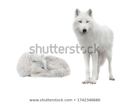 ártico · lobo · grama · blue · sky · neve · inverno - foto stock © chris2766