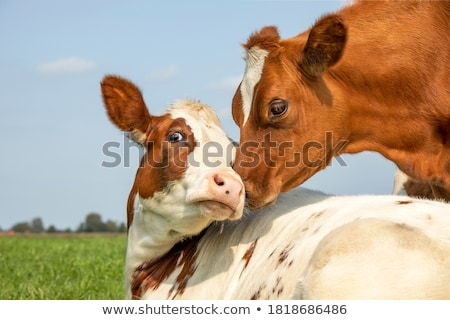 Couple of cows Stock photo © ldambies