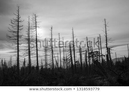 ölü ağaçlar çerçeve güneşli ağaç doğa Stok fotoğraf © prill