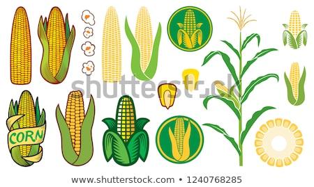 Maize corn ear on stalk Stock photo © stevanovicigor