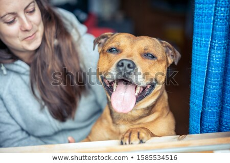 dressed staffordshire bull terrier stock photo © cynoclub