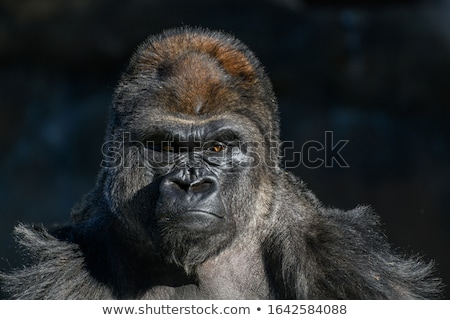 Gorilla Stock photo © carbouval