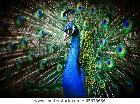 şaşırtıcı · tavuskuşu · kuyruk · güzel · renkli · kuş - stok fotoğraf © lincolnrogers