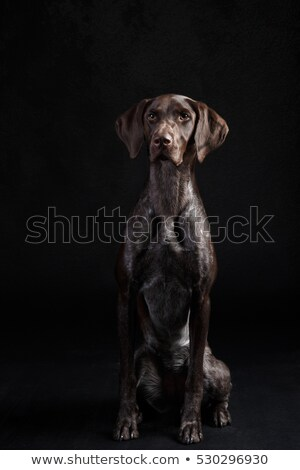 Stock photo: German Pointer sitting in the white studio floor