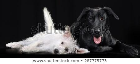 Stock photo: Mixed breed white dog lying in a dark photostudio